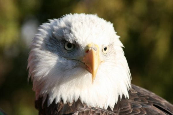 Picture of a bald eagle.